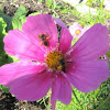 Sweat Bee on Cosmos