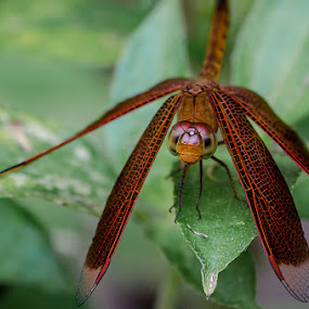 Red Dragonfly by Fitria Ramli - Animals Insects & Spiders ( macro, red, wings, nikon, insects, dragonfly, close-up,  )