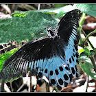 Blue Mormon butterfly