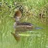 Hooded Merganser (Female)
