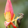 Grey-throated sunbird