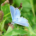 Common Blue / Hauhechel-Bläuling
