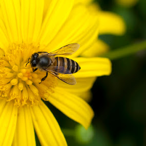 A bee and a flower by Zam Foto - Flowers Flowers in the Wild ( wild, nature, bee, yellow, insect, garden, flower )
