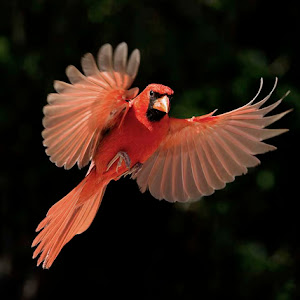 Flared out cardinal Low Res.jpg