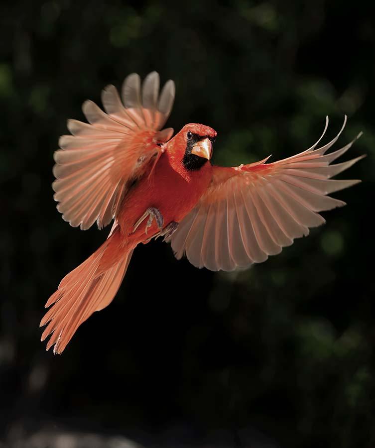 Splash of Red by Wade Grassedonio - Animals Birds ( wildlife photography, wildlife, birds, texas photo ranch, photography, , bird, fly, flight )