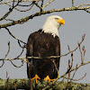 Bald Eagle - adult