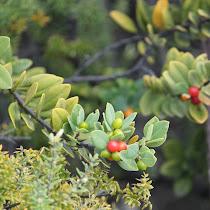 Hawaii Native Species