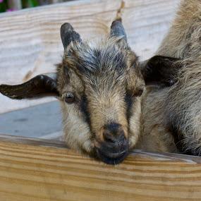Baby Goat by Sandy Scott - Animals Other Mammals ( farm animals, mammals, goat, horned animals, baby goat,  )
