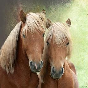 Icelandic horses by Anna Guðmundsdóttir - Animals Horses ( icelandic horses, iceland, horses, íslenskir hestar, hestar, ísland,  )