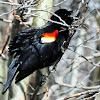 Red-winged Blackbird (M&F)
