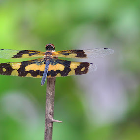 by Rajkumar Biswas - Animals Insects & Spiders ( wings, beauty, dragonfly )