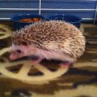 Domesticated hedgehog