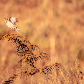 fly high for freedom by Nur Saputra - Animals Birds (  )