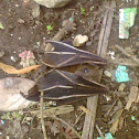 chamera (bat)