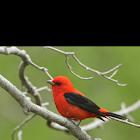 scarlet tanger