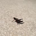 Eastern Lubber Grasshopper