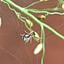 Latrodectus geometricus (immature).