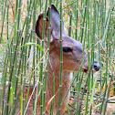 Mule deer females