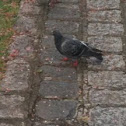 Feral Pigeon (city doves, city pigeons or street pigeons)