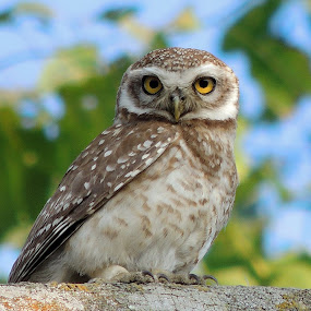 Spotted owlet  by  Priyanka Das - Animals Birds (  )