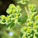 Sun spurge, wart spurge, umbrella milkweed