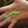 Tobacco Hornworm or Carolina Sphinx