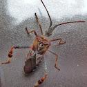 Leaf-footed Pine Seed Bug