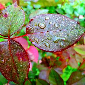Magic raindrops by Gordana Cajner - Nature Up Close Natural Waterdrops (  )