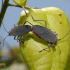 Red-shouldered bugs (mating pair)