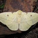 Tagoropsis moth