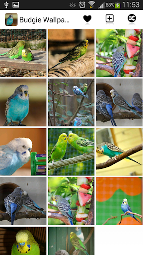 Budgie Wallpapers