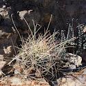 Tobuschii fishhook or snipe cactus