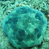 Pin-cushion Sea Star