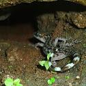 Khasi Hills Bent toed Gecko