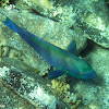 Red Sea Steepheaded Parrotfish
