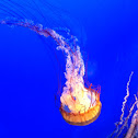 Needle jellyfish