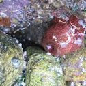 Strawberry Anemone (Morango-do-mar)