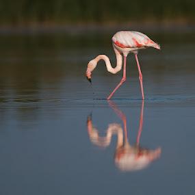 by Howard Kearley - Animals Birds (  )