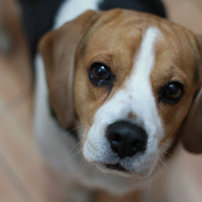 Melancholy by Remus Lungu - Animals - Dogs Portraits ( melancholy, best friend, beagle, dog,  )