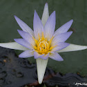 Blue star water lilly