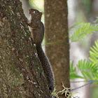 Esquilo (Southeastern Squirrel)