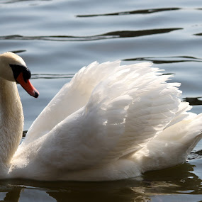 SWAN by Rhonda Silverton - Animals Birds ( bird, swan, high park, feathers,  )