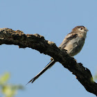 Long-tailed Tit, mito