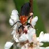 garden maggot - female