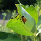 Swamp Milkweed Leaf Beetle larva