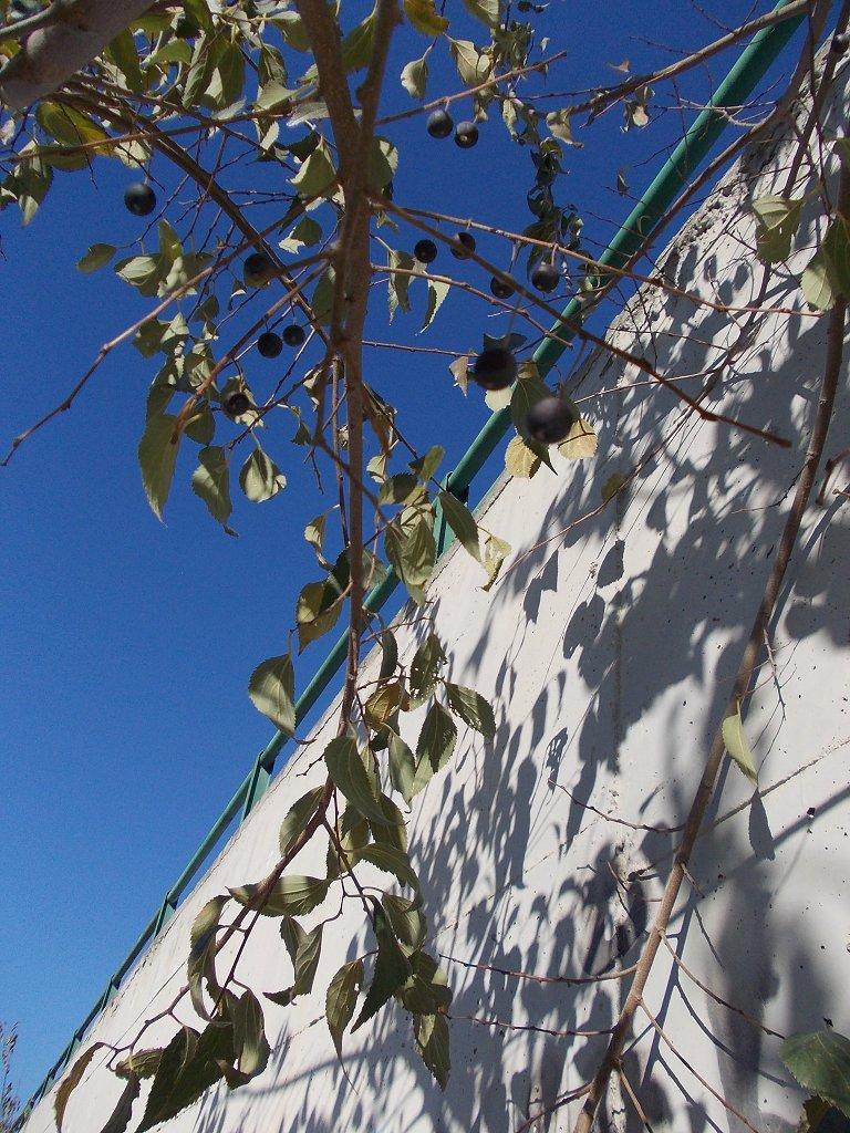 Mediterranean hackberry (Μελικουκιά)
