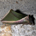 Erebidae, Catocalini