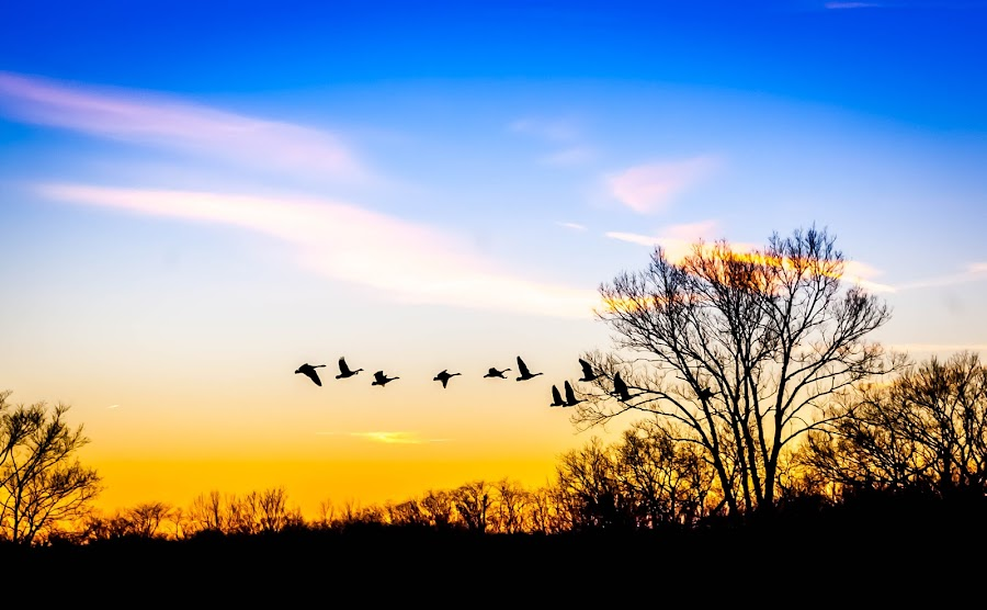 Geese Heading for Home 2 by Pat Lasley - Landscapes Sunsets & Sunrises ( sky, sunset, geese, dusk, sun, colorful, mood factory, vibrant, happiness, January, moods, emotions, inspiration, , golden hour, sunrise )