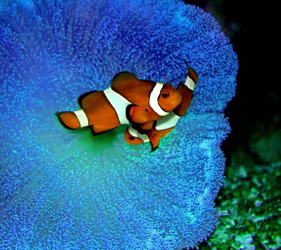 Clown Fish by Arunima Malik - Animals Fish (  )