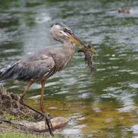 Great Catch by Angela Wescovich - Animals Birds